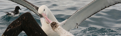 Two fighting Antipodean albatross.